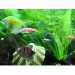 Тенеция Glo-fish разноцветная за
