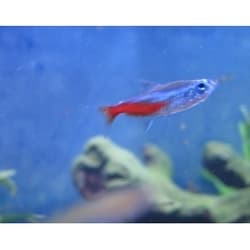 Неон голубой размер S (10-12мм)